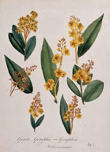 Seven tropical flowering plants, all species of the genus Gomphia. Coloured lithograph. Botany. Plants. Tropical plants. Ochnaceae. Work ID: w9rrurtx.