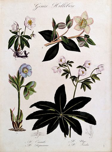 Four types of hellebore (Helleborus species): flowering stems and floral segments. Coloured lithograph. Botany. Plants. Cultivated. Plants. Ornamental. Plants. Ranunculaceae. Hellebores. Christmas rose. Poisonous plants. Work ID: wynqvwmh.