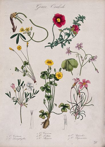 Seven flowering plants, all species of the genus Oxalis. Coloured lithograph. Botany. Plants. Oxalidaceae. Work ID: dydvtr85.