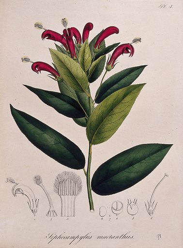 A tropical plant (Centropogon surinamensis): flowering stem and floral segments. Coloured lithograph. Botany. Plants. Campanulaceae. Tropical plants. Work ID: vg943apa.