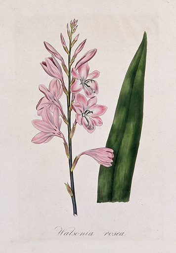 A plant (Watsonia rosea): flowering stem and leaf. Coloured lithograph. Botany. Plants. Iridaceae. Cultivated. Plants. Ornamental. Plants. Work ID: vquk96vw.