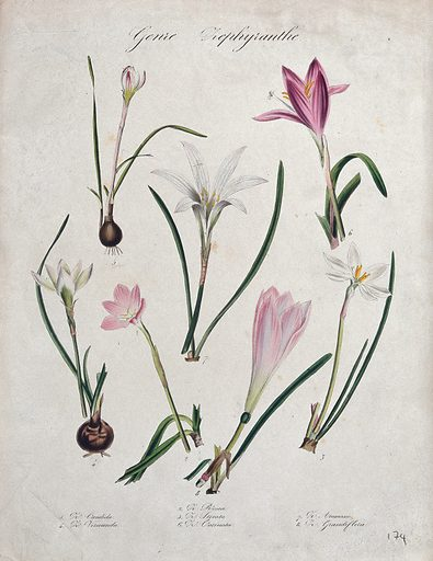 Seven plants, all species of the genus Zephyranthes: flowering stems. Coloured lithograph. Botany. Plants. Cultivated. Plants. Ornamental. Plants. Amaryllidaceae. Work ID: yya83vhw.