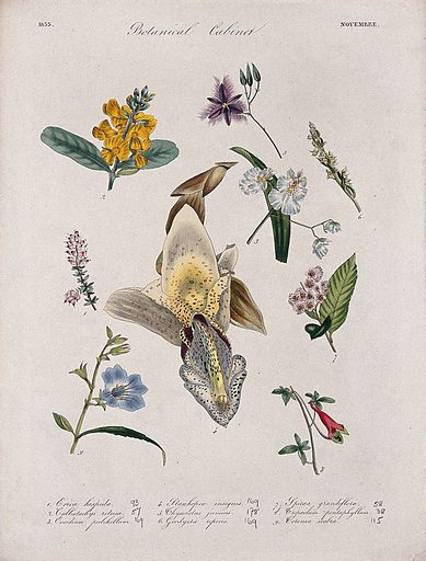 Nine flowering plants, including three orchids. Coloured transfer lithograph, c 1833. Work ID: n4h8sfxa.