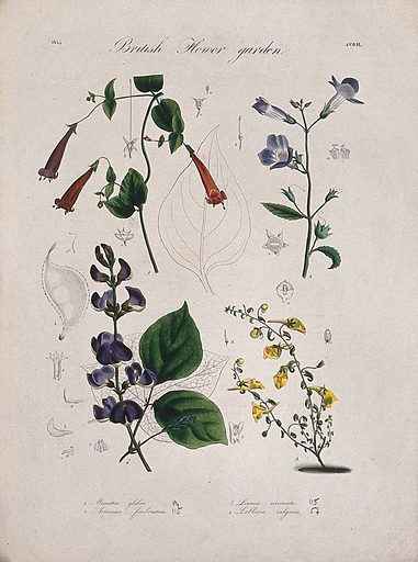 Four British garden plants: flowering stems and floral segments. Coloured etching, c 1834. Work ID: fhb6njvy.