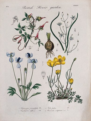Four British garden plants: flowering stems and floral segments. Coloured etching, c 1834. Work ID: wc3jzjzt.