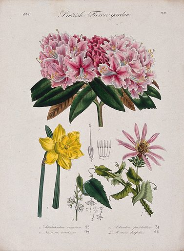 Four British garden plants, including daffodil and rhododendron: flowering stems and floral segments. Coloured etching, c 1835. Work ID: z96tc7j8.