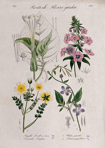 Four British garden plants: flowering stems and floral segments. Coloured etching, c 1837. Work ID: x5yead6k.