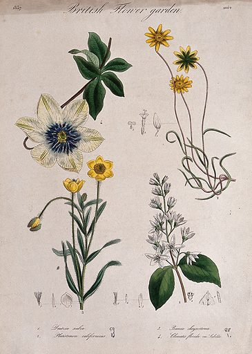 Four British garden plants, including a clematis: flowering stems and floral segments. Coloured etching, c 1837. Work ID: abk7uyf6.