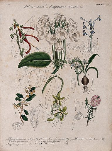 Seven British garden plants: flowering stems and some floral segments. Coloured etching, c 1833. Work ID: y5xf85m8.