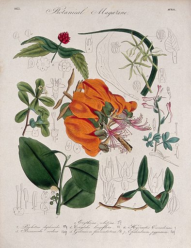 Seven British garden plants, including a coral tree: flowering stems and some floral segments. Coloured etching, c 1833. Work ID: qnewgc43.