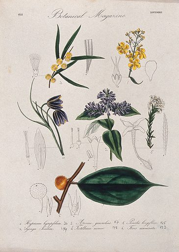 Seven British garden plants, including a fig: flowering stems and floral segments. Coloured etching, c 1833. Work ID: dp7j8vsh.