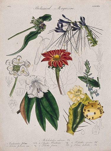 Seven British garden plants, including a rhododendron: flowering stems and floral segments. Coloured etching, c 1834. Work ID: dnqyeuzd.
