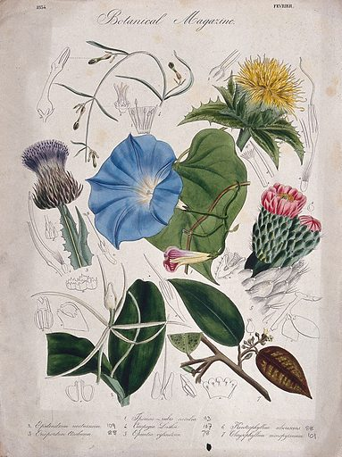 Seven garden plants, including a h̀eavenly blue' ipomoea: flowering stems and floral segments. Coloured etching, c 1834. Work ID: w25s6kua.