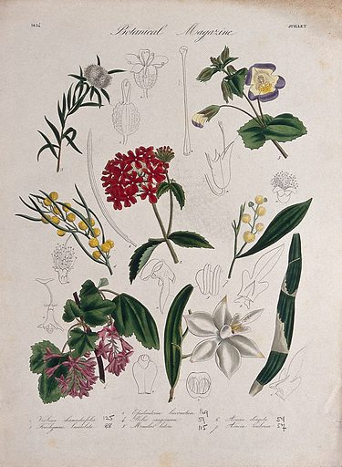 Seven garden plants, including an orchid: flowering stems and floral segments. Coloured etching, c 1834. Work ID: d86sj7xd.