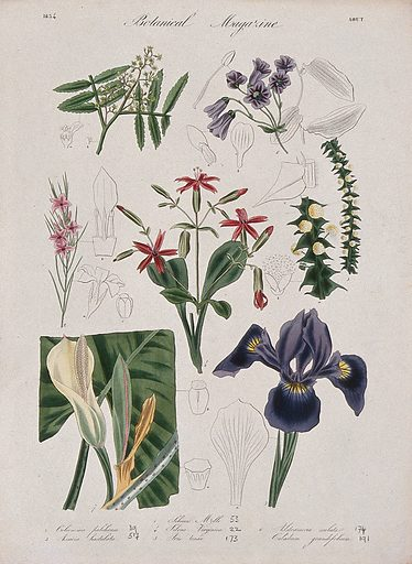 Seven garden plants, including an iris: flowering stems and floral segments. Coloured etching, c 1834. Work ID: fscdyfz4.