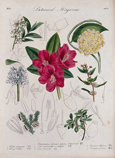 Seven garden plants, including an orchid and a rhododendron: flowering stems and floral segments. Coloured etching, c 1835. Work ID: j7hjqurj.