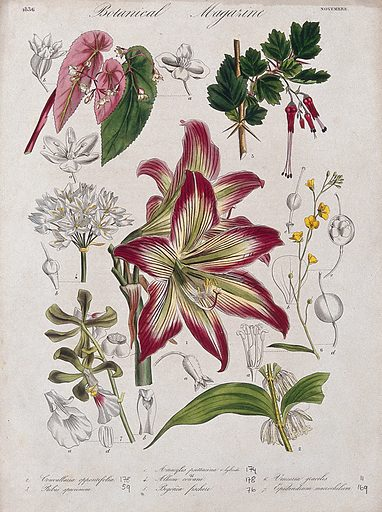 Seven garden plants, including an orchid and an amaryllis: flowering stems and floral segments. Coloured etching, c 1836. Work ID: v2ys65fc.