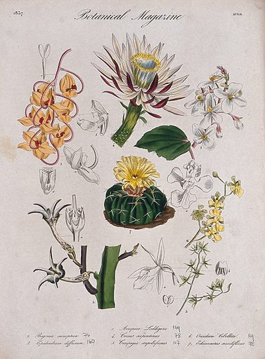 Seven plants, including three orchids and two cacti: flowering stems and floral segments. Coloured etching, c 1837. Work ID: b9sdk2tk.