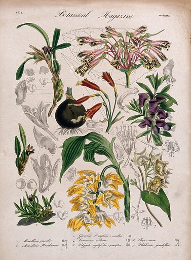 Seven plants, including three orchids and a gesneria: flowering stems and floral segments. Coloured etching, c 1837. Created 1837. Botany – England – History (- 19th century). Horticulture. Cultivated. Plants. Ornamental. Plants. Flowers. Orchids. Gesneria. Polygala. Asclepiadaceae. Contributors: William Curtis (1746–1799). Work ID: d3bz6vdn.