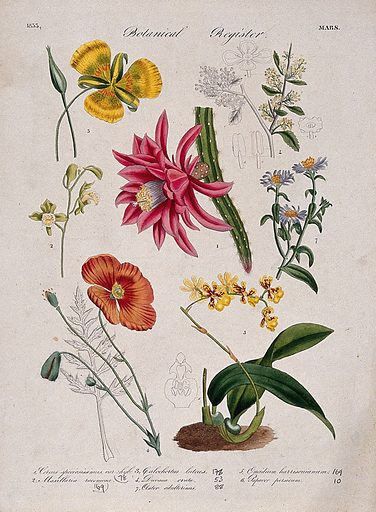 Seven plants, including two orchids and a poppy: flowering stems. Coloured etching, c 1833. Work ID: d8tmdgxb.