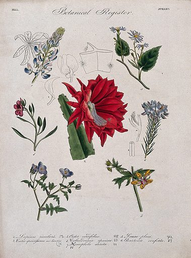 Seven plants, including a lupin and an aster: flowering stems. Coloured etching, c 1833. Work ID: wdyqagp6.