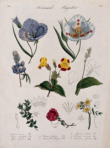 Eight plants, including two mariposa lilies and a monkey flower: flowering stems. Coloured etching, c 1834. Work ID: vkt8kd3u.