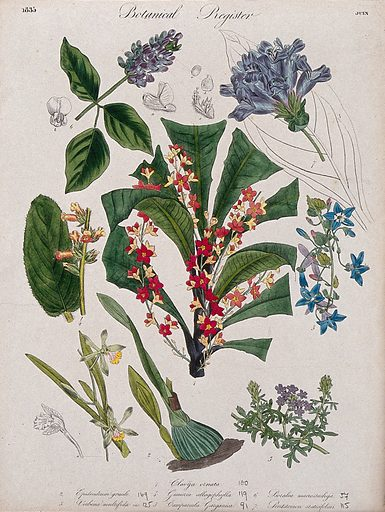 Seven plants, including an orchid, a campanula and a penstemon: flowering stems. Coloured etching, c 1835. Work ID: nk7tckfx.