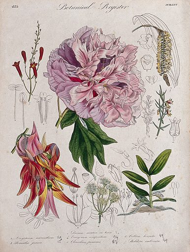 Seven plants, including a paeony, a glory pea and two orchids: flowering stems. Coloured etching, c 1835. Work ID: cw8wc7bu.