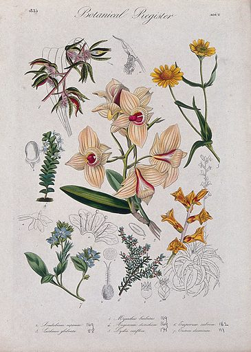 Seven plants, including three orchids: flowering stems. Coloured etching, c 1835. Work ID: rrte44qa.