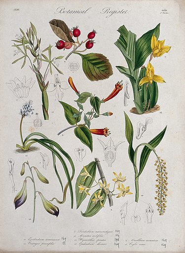 Eight plants, including five orchids: flowering stems. Coloured etching, c 1836. Work ID: zusx2chj.