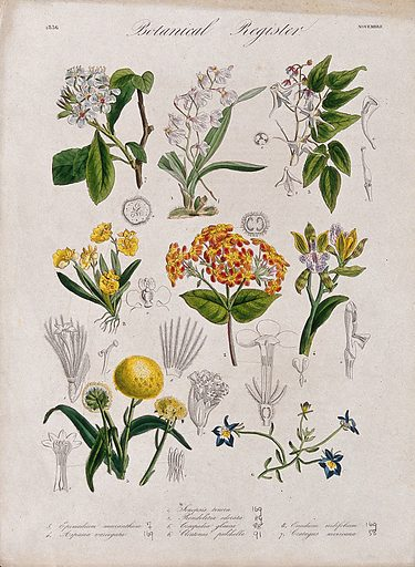 Eight plants, including three orchids and a hawthorn: flowering stems. Coloured etching, c 1836. Work ID: zdrcc6xt.