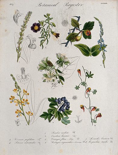 Eight plants, including two orchids and two hawthorns: flowering stems. Coloured etching, c 1837. Work ID: nwae4hbn.