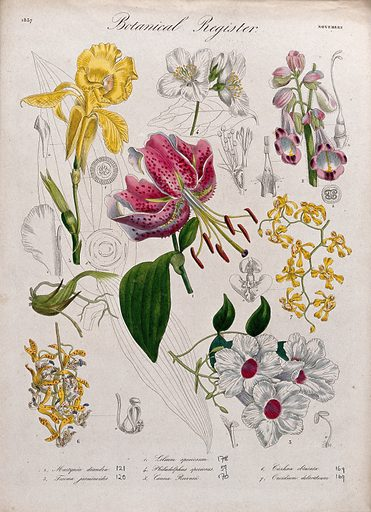 Seven plants, including two orchids and a lily: flowering stems. Coloured etching, c 1837. Created 1837. Botany – England – History (- 19th century). Horticulture. Flowers. Ornamental. Plants. Cultivated. Plants. Orchids. Oncidium. Lilies. Bignoniaceae. Pedaliaceae. Martyniaceae. Work ID: m4rnbu9d.