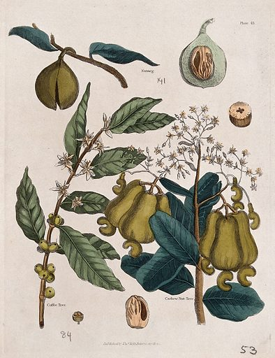 A coffee tree (Coffea species), nutmeg plant (Myristica fragrans) and cashew nut tree (Anacardium occidentale): flowers and fruit. Coloured engraving, c 1827. Created 1827. Useful. Plants. Botany – England – History (- 19th century). Nuts. Edible. Plants. Cultivated. Plants. Crops. Spice plants. Myristica. Myristicaceae. Nutmeg tree. Oilseed plants. Coffee. Psychotropic plants. Rubiaceae. Anacardiaceae. Anacardium. Cashew. Cashew nut. Tropical plants. Work ID: k4cjzvd6.