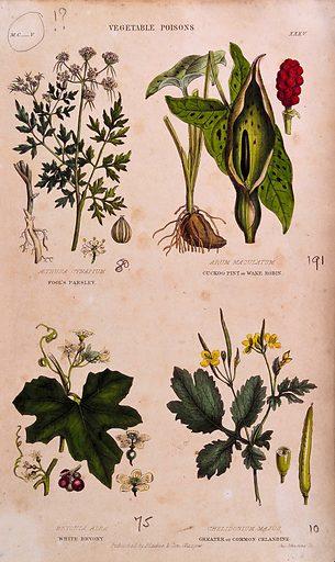 Four poisonous plants: fool's parsley (Aethusa cynapium), cuckoo pint (Arum maculatum), white bryony (Bryonia dioica) and greater celandine (Chelidonium majus). Coloured engraving by J Johnstone, 1855. Created 1855. Botany – Scotland. Useful. Plants. Medicinal plants. Poisonous plants. Umbelliferae. Araceae. Cucurbitaceae. Cruciferae. Contributors: John. Johnstone. Work ID: wahapcw2.