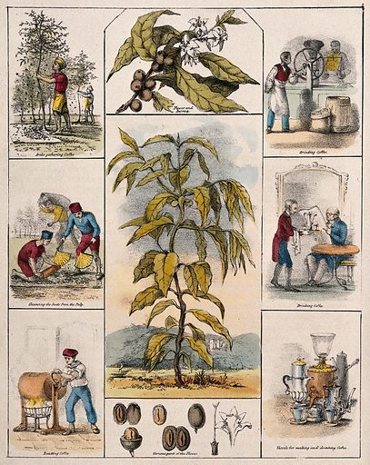 A coffee plant (Coffea arabica), its flower and fruit segments bordered by six scenes illustrating its use by man. Coloured lithograph, c 1840. Created c 1840. Useful. Plants. Botany (- 19th century). Plant products. Rubiaceae. Coffee. Psychotropic plants. Medicinal plants. Coffee plantation workers. Coffee industry. Coffee drinking. Coffee mills. Coffee making paraphernalia. Drinking vessels. Economic. Botany. Work ID: cqraukw4.