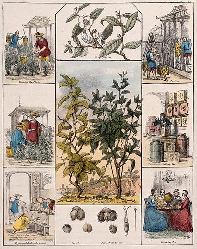 A tea plant (Camellia sinensis), its flowers and seeds, bordered by six scenes illustrating its use by man. Coloured lithograph, c 1840. Created c 1840. Useful. Plants. Botany (- 19th century). Plant products. Economic. Botany. Theaceae. Camellias. Tea. Tea trade. Tea plantation workers. Tea making paraphernalia. Work ID: sd4au7qj.