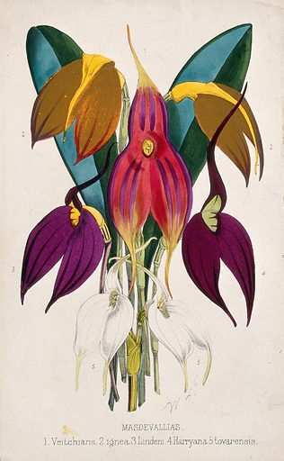 Five tropical orchids, all varieties of the genus Masdevallia: flowers and leaves. Coloured lithograph, c 1873, after W Fitch. Created 1862–84. Ornamental. Plants. Cultivated. Plants. Tropical plants. Botany – England – History (- 19th century). Flowers. Orchids. Masdevallia. Contributors: W H Fitch (1817–1892). Work ID: qmpdemjk.