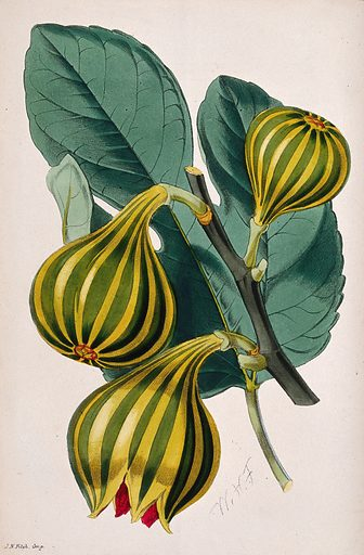 A fig plant (Ficus carica var.): fruiting stem and leaf. Coloured lithograph, c 1869, after W Fitch. Created 1869. Botany (- 19th century). Cultivated. Plants. Ornamental. Plants. Moraceae. Fig. Ficus (Plants). Edible. Plants. Contributors: W H Fitch (1817–1892). Work ID: zs8jebqf.