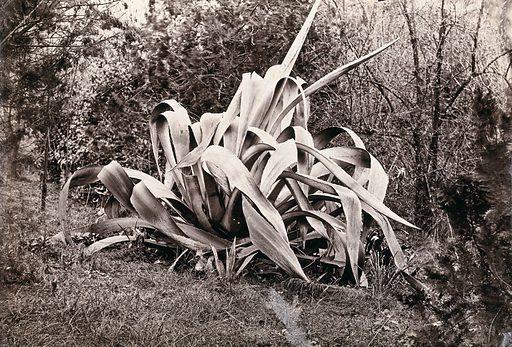 A large aloe plant (Aloe species). Photograph. Tropical plants. Cultivated. Plants. Ornamental. Plants. Aloe. Liliaceae. Botany. Work ID: nsvucxg6.