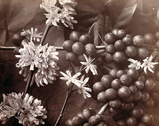 The blossom and fruit of a coffee tree (Coffea arabica) Photograph. Useful. Plants. Rubiaceae. Coffee. Psychotropic plants. Medicinal plants. Cultivated. Plants. Tropical plants. Botany. Plants – Sri Lanka. Berries. Contributors: WLH Skeen & Co (Colombo, Ceylon). Work ID: pqzfqhb7.