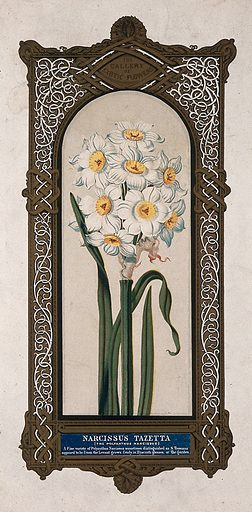 A flowering daffodil (Narcissus tazetta) with large, ornate border