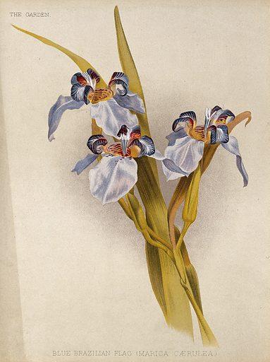 A flowering blue flag iris (Marica caerulea) Chromolithograph, c 1888, after H Moon. Created 21 January 1888. Botany – England – History (- 19th century). Cultivated. Plants. Ornamental. Plants. Flowers. Iridaceae. Irises (Plants). Contributors: Henry George Moon (1857–1905). Work ID: v2tz6vpx.