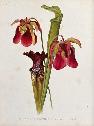 Two types of pitcher plants (Sarracenia species): flowers and leaves. Chromolithograph, c 1886, after H Moon. Created c 1886. Botany – England – History (- 19th century). Cultivated. Plants. Ornamental. Plants. Flowers. Pitcher plants. Sarraceniaceae. Sarracenia. Carnivorous plants. Contributors: Henry George Moon (1857–1905). Work ID: f99nxvy6.