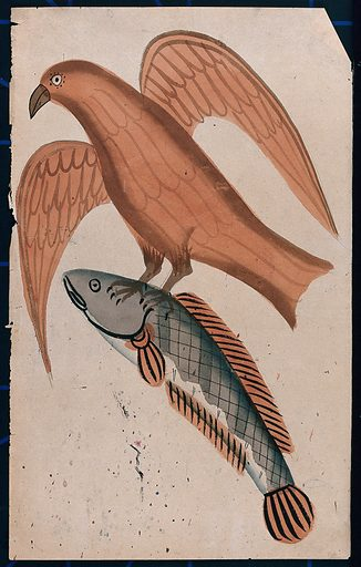 A fish being carried off by a bird. Watercolour drawing. Fishes. Birds. Hunting. Natural history – India. Birds of prey – India. Work ID: a5gyks58.