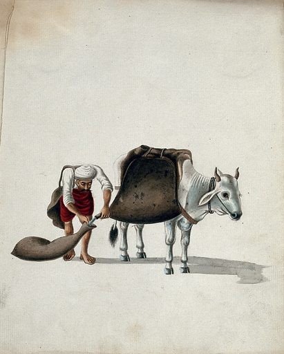 A man pouring water from large saddle bags on a cow into smaller water pouches. Gouache painting by an Indian artist. Created between 1800 and 1899?. Work ID: u95sfh6e.