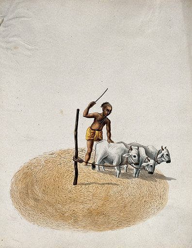 A man cultivating his land, using three cows. Gouache painting by an Indian artist. Created between 1800 and 1899?. Work ID: jpub3hyp.