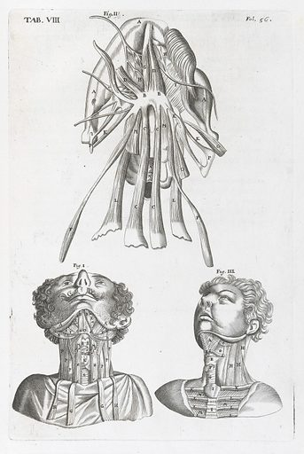 Anatomical illustrations showing the muscles of the neck. Work ID: qtph4mub.