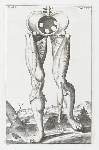Anatomical illustration showing muscles of the legs. Work ID: qjqp6pgt.