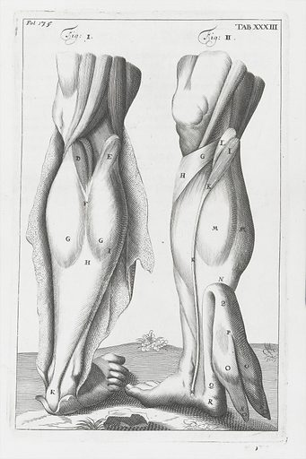 Anatomical illustration showing muscles of the lower leg at the back. Work ID: yexuu4qk.
